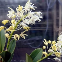 Den.speciosum