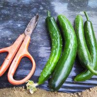 乾燥した土壌でも胡瓜は元気