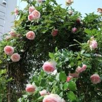 こぼれんばかり、花の数々「ピエール・ドウ・ロンサール」