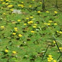 前橋にむぎの秋がやってきました。鯉池の跡ではアサザがたくさんの花を咲かせてます