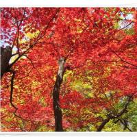 六義園の紅葉1