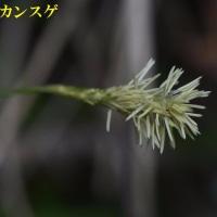 2017/03/25 芋谷のイワナシ開花