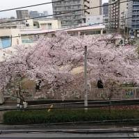 桜が綺麗。
