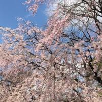 六義園のしだれ桜(東京/日本)