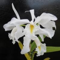 Den.formosum,C.walkeriana,C.maxima