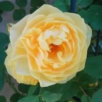 バラが咲いた!