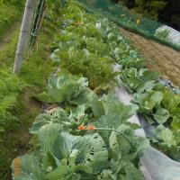 畑の野菜の様子