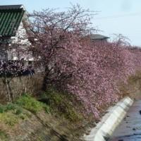 '17 洞川の河津桜が平均6分咲・・今週末は見頃!