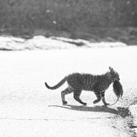 まさかの巨大ネズミ捕獲の瞬間! @相島のネコたち【閲覧注意してください】