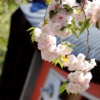 2017年4月30日 塩竃桜