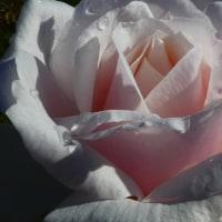 『秋の薔薇』 スィート・アフトン