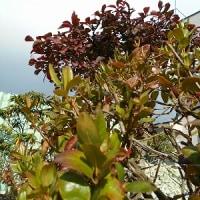 「錦木」の燃える様な赫(あか)の葉っぱ…