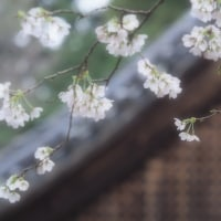 桜の写真。