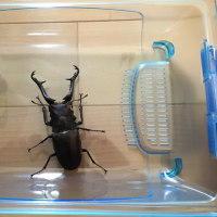 昆虫飼育観察記録 ギラファノコギリクワガタ