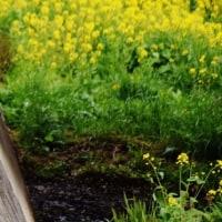 今治市菊間町の川で菜の花が満開になっています