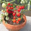 観賞用のミニトマト