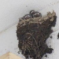 燕、4匹育っている