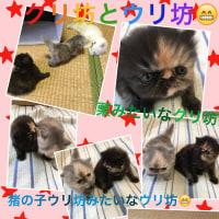 おはよう〜♪ペルシャ子猫の3週間児ウリ坊クリ坊(=゚ω゚)ノ写真3日め動画付
