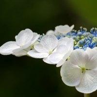 紫陽花の季節(Ⅵ)