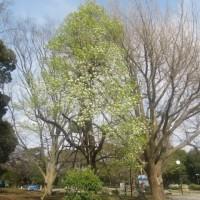 平塚総合公園のヤマナシとアンズの花 見ごろに