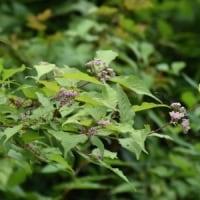 林縁にムラサキシキブの花