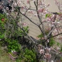 小さな桜の樹
