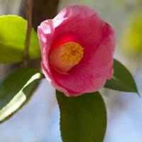 椿の花咲く頃(Ⅷ)