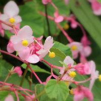 雨に咲く秋海棠