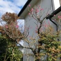 住宅地の梅の花と ロウバイ