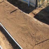 キャベツの植え付け準備。施肥とマルチを張りました。