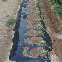 サツマイモの定植。