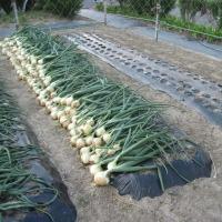 玉ネギ収穫・終了