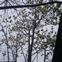 我が家の庭に白い木蓮の花が