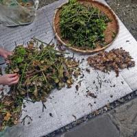 山菜「ゼンマイ」