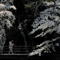 須坂市・臥竜公園さくら色