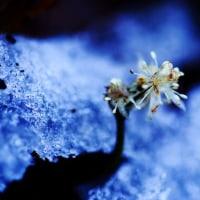 早春の林 オウレンの花とツチガエルの卵塊