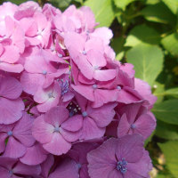 紫陽花トリビア