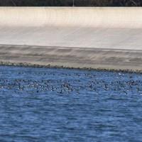 来週1/28(土)に「渡り鳥調査隊」を開催します