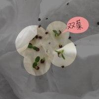 スミレの種、蒔いてみた(2回目)〜その4