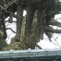 ん!イチョウの大樹2