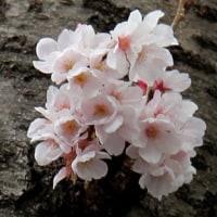 あっという間の「桜ウィーク?」
