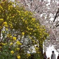 桜を添えて真央ちゃんありがとう
