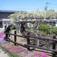 地福寺の藤