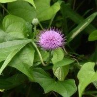 ノアザミの花がオニドコロの葉の間から顔を出して