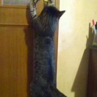 ドアをあけようとする猫2