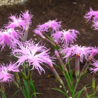 初夏の花 アマリリス、ユリ、ツバメスイセン、睡蓮