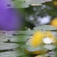 水の精ニンフの化身 ~ モネの庭から(その287)