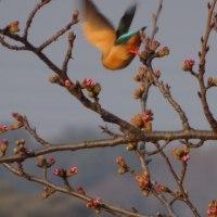 カワセミの桜渡り
