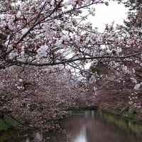 弘前公園の桜は