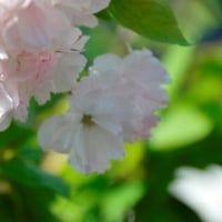 八重紅虎の尾桜 4.25